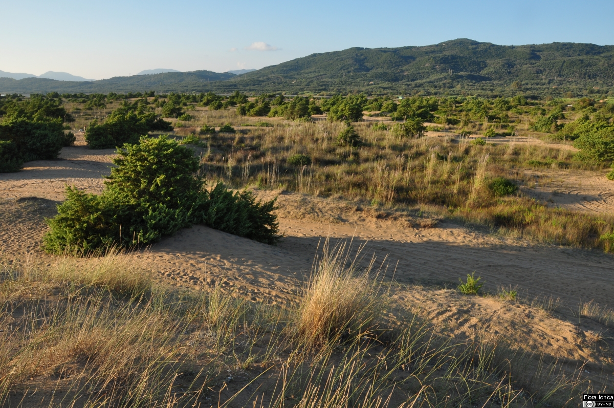 Sand dunes with European beachgrass (<i>Calamagrostis arenaria </i> subsp. <i>arundinacea</i>) and juniper (<i>Juniperus macrocarpa</i>) close to Korission lagoon on Corfu.