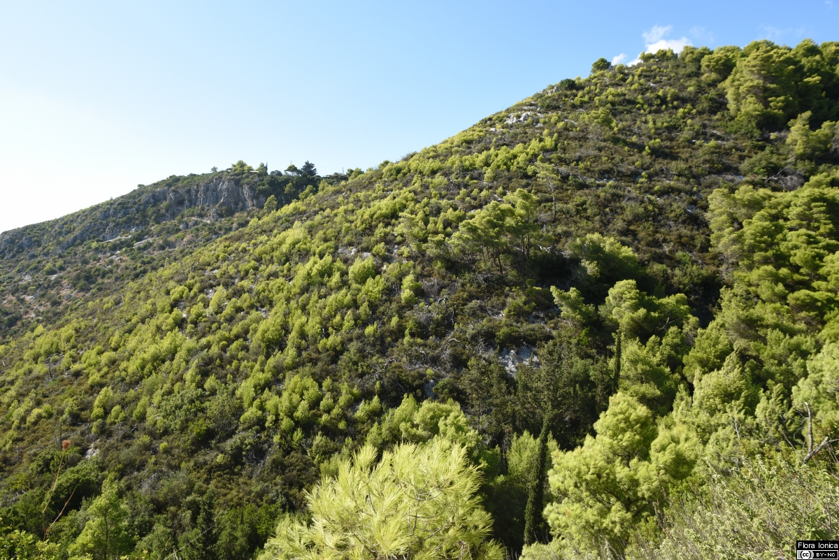 Young stand of Aleppo pine (<i>Pinus halepensis</i>) emerging after fire in the SW of Zakynthos.