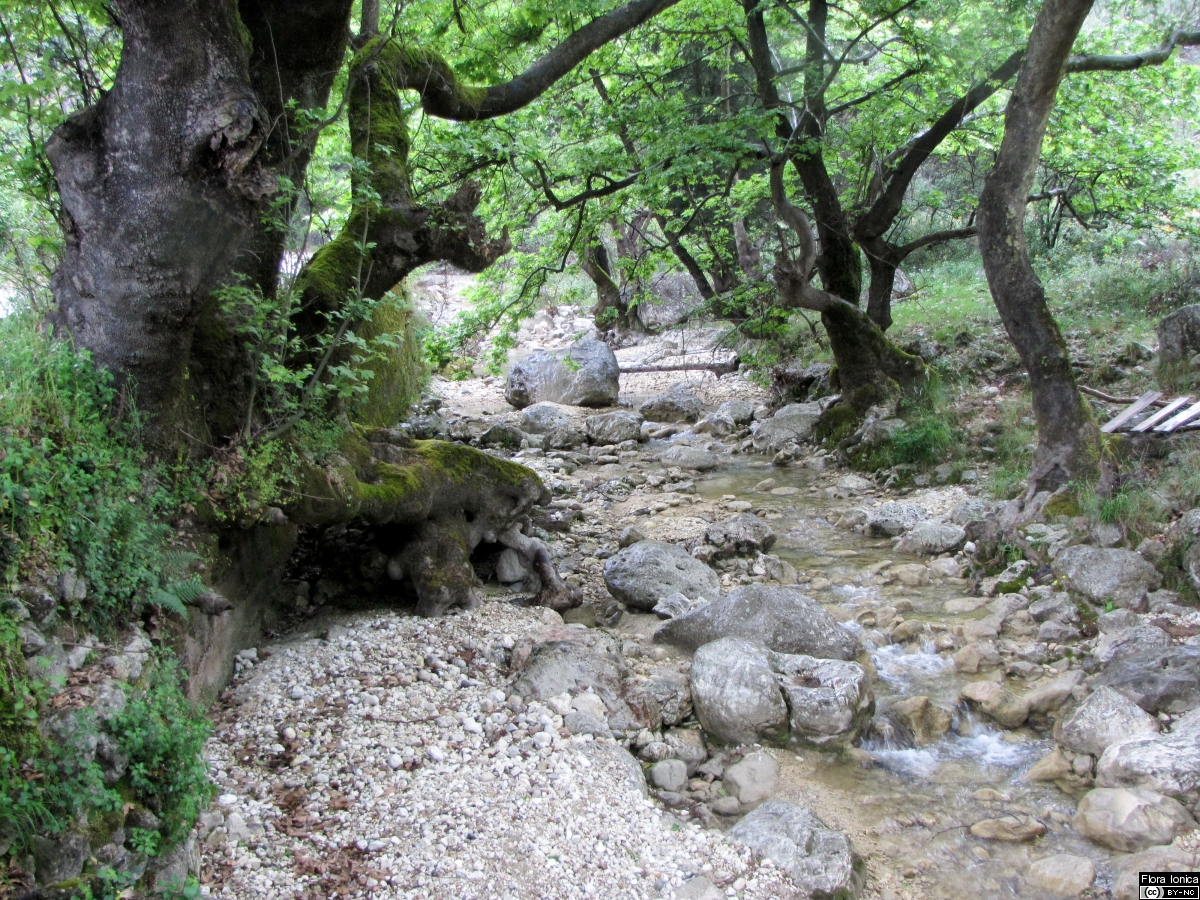 Mediterranean riparian forest with oriental plane (<i>Platanus orientalis</i>) in Dimosari valley on Lefkada.