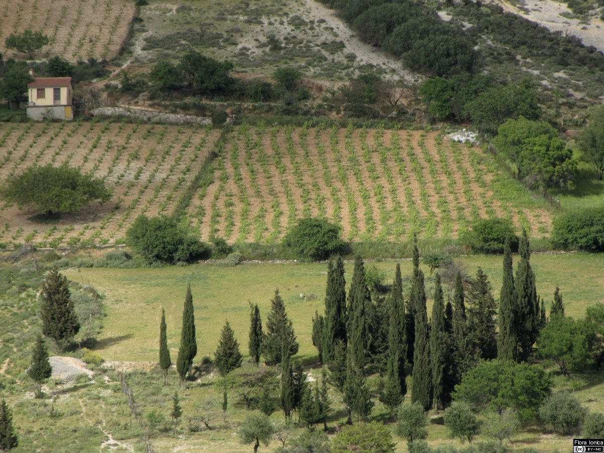 Vineyards on Cephalonia.