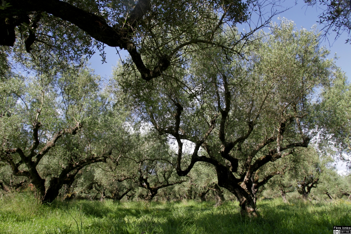 Olive grove on the island of Zakynthos.