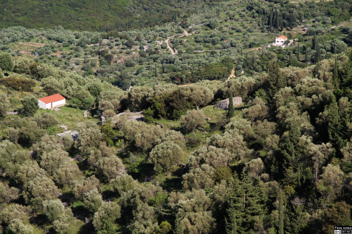 Olive groves are the dominating type of cultivated land, as seen on Ithaka.