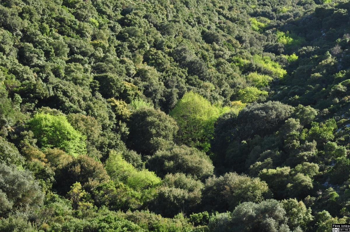 Ravine forest with hop hornbeam (<i>Ostrya carpinifolia</i>) in the NW of Cephalonia.