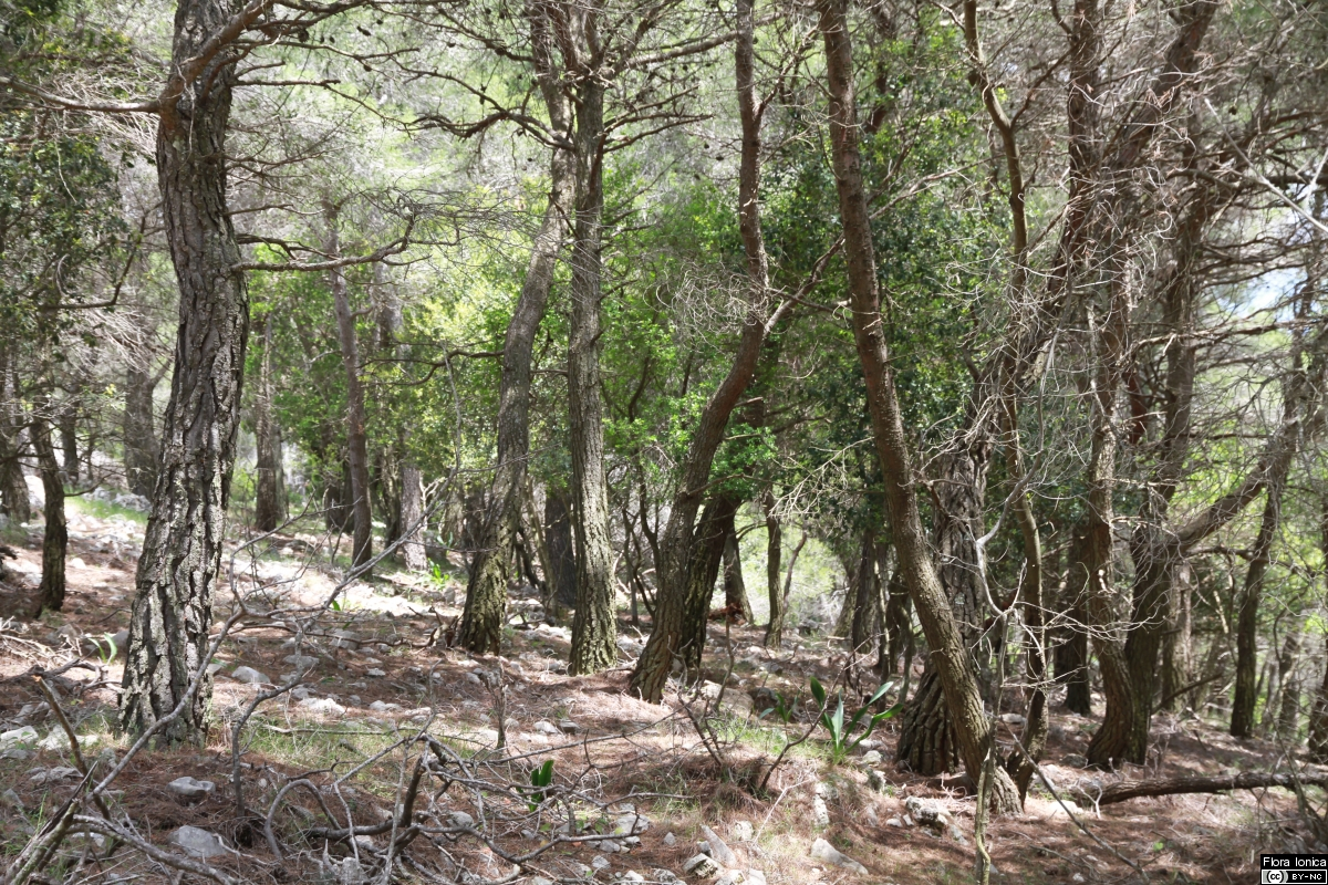Sparsely developed understory of Aleppo pine (<i>Pinus halepensis</i>) forest on Zakynthos.
