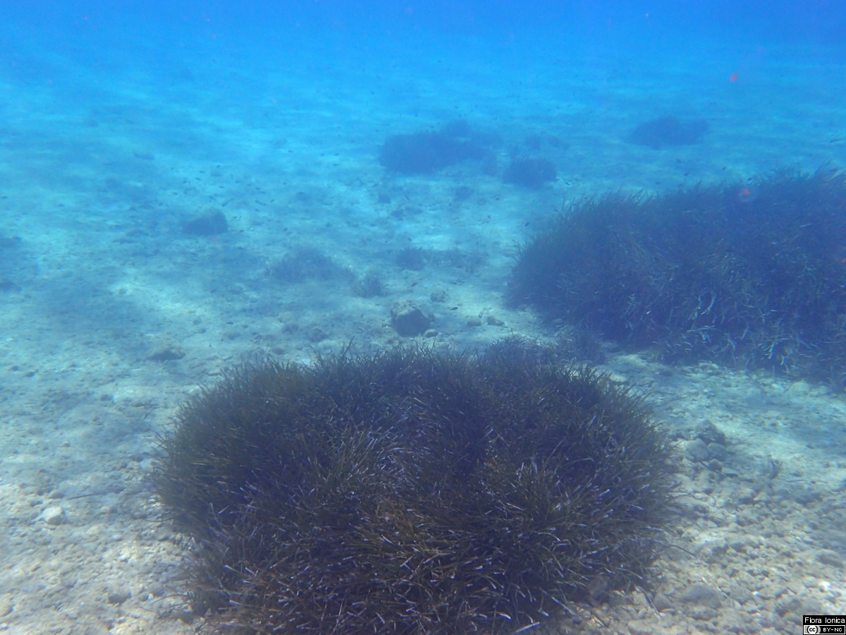 Seagrass meadows (<i>Posidonia oceanica</i>) form important and threatened habitats for marine wildlife, e.g. offshore the coast of Ithaka.