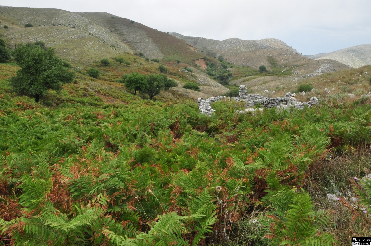 Abandoned cultivated land largely covered by common bracken (<i>Pteridium aquilinum</i>) on the slopes of Mount Pantokrator, Corfu.