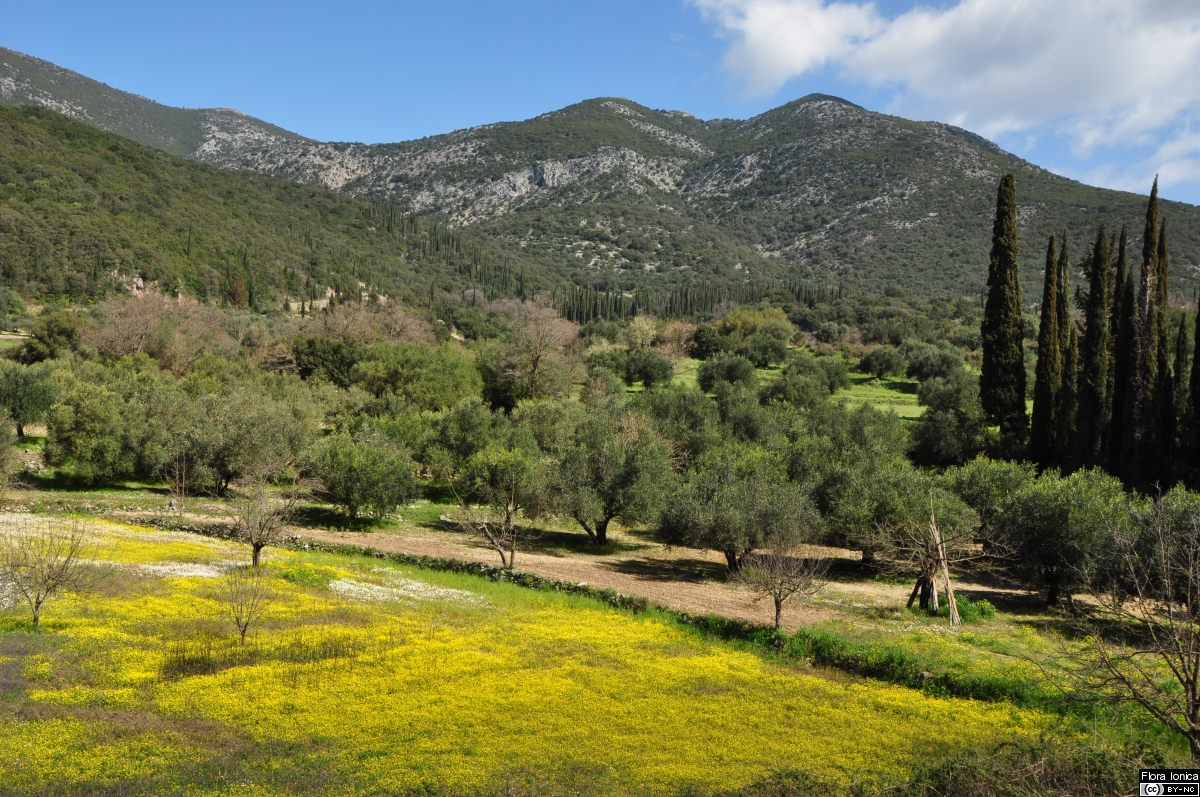 Vernal aspect of fields and olive groves with mass flowering of a common buttercup species (<i>Ranunculus marginatus</i>) on Cephalonia.