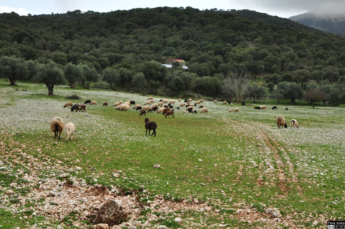 Flocks of sheep are still common on the islands shaping the actual vegetation, as seen on Cephalonia.