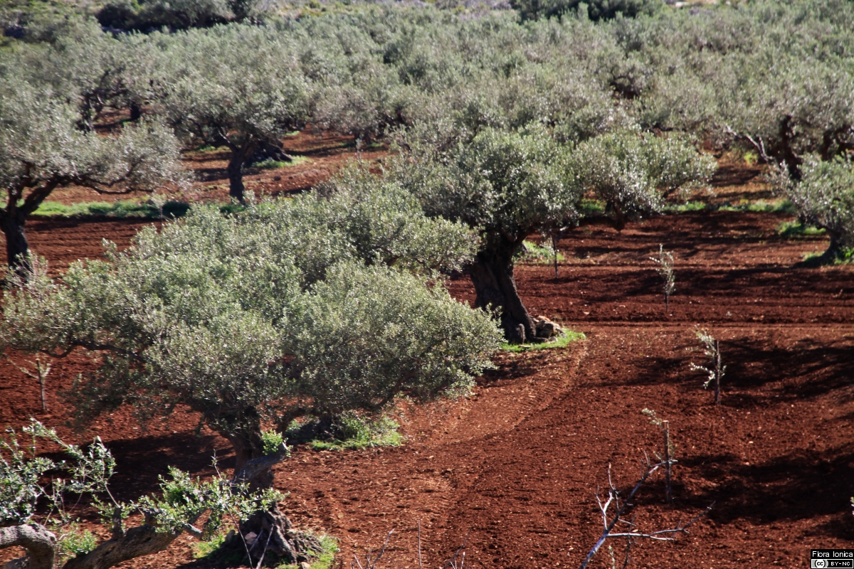 Terra rossa soil in olive grove in the W of Zakynthos.