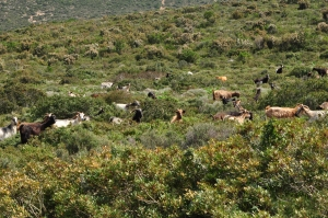 Widespread vegetation types such as macchie or garrigue are a result of grazing by goats, e.g. in the NW of Cephalonia.
