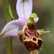Ophrys oestrifera agg.